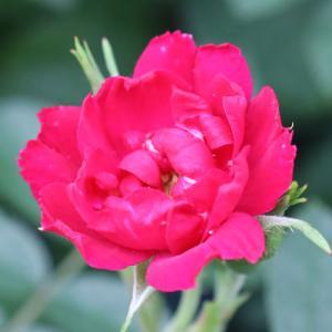 バラ苗 2年大株苗 F.J.グローテンドルスト オールドローズ 4号鉢 |rose-m