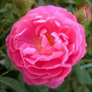 バラ苗 2年大株苗 アンリマルタン オールドローズ 4号鉢 |rose-m
