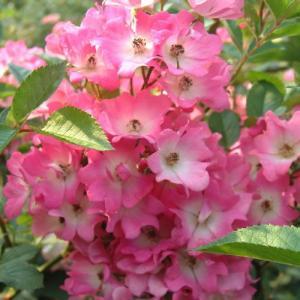 バラ苗 2年大株苗 一棒粉(イーバンフェン) オールドローズ 4号鉢 |rose-m