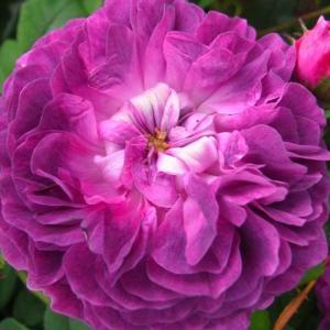 バラ苗 2年大株苗 カーディナルドリシュリュー オールドローズ 4号鉢 |rose-m