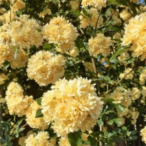 バラ苗 2年大株苗 黄木香 モッコウバラ オールドローズ 6号鉢|rose-m
