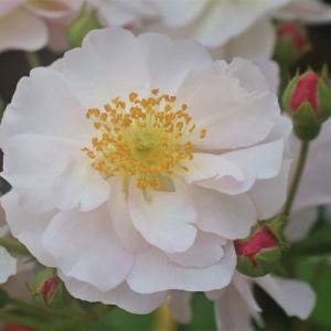 バラ苗 2年大株苗 コーネリア オールドローズ 4号鉢 |rose-m