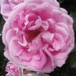 バラ苗 2年大株苗 コンラッドフェルディナンドマイヤー オールドローズ 4号鉢 |rose-m