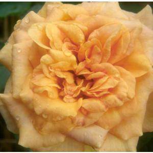 バラ苗 2年大株苗 ソレイユドール オールドローズ 4号鉢 |rose-m