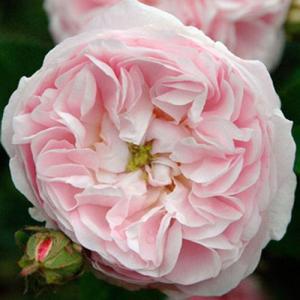 バラ苗 2年大株苗 デュシェスドゥモンテベロ オールドローズ 4号鉢 |rose-m