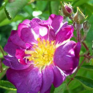 バラ苗 2年大株苗 ファイルフェンブラウ オールドローズ 4号鉢 |rose-m