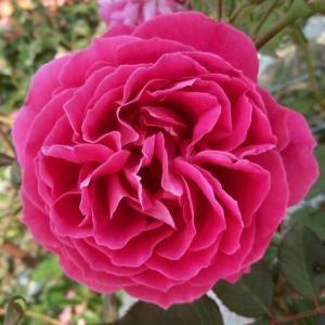 バラ苗 2年大株苗 グルスアンテプリッツ オールドローズ 4号鉢 |rose-m