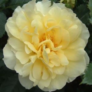 バラ苗 2年大株苗 ゲルベダグマーハストラップ(トパーズジュエル) オールドローズ 4号鉢 |rose-m