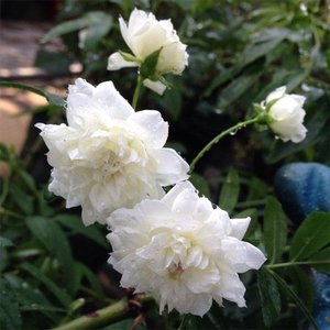 バラ苗 2年大株苗 白木香 オールドローズ 6号鉢|rose-m