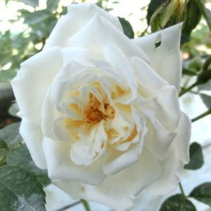 バラ苗 2年大株苗 アルベリックバルビエ オールドローズ 4号鉢 |rose-m