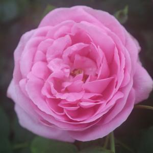 バラ苗 2年大株苗 コンテスセシルドシャブリアン オールドローズ 4号鉢 |rose-m