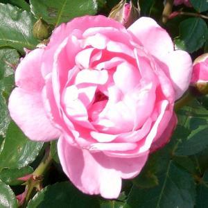 バラ苗 2年大株苗 セレスティアル オールドローズ 4号鉢 |rose-m