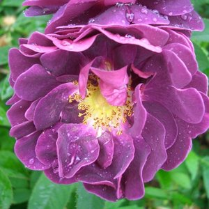 バラ苗 2年大株苗 トスカニースパーブ オールドローズ 4号鉢 |rose-m