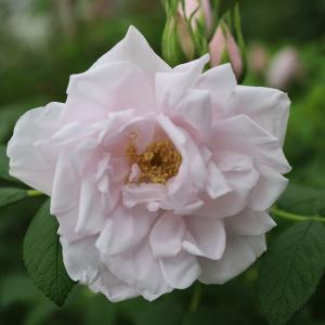 バラ苗 2年大株苗 シュネーコッペ オールドローズ 4号鉢 |rose-m