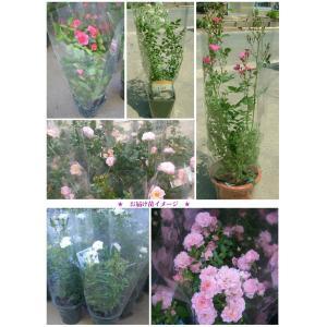 母の日ギフト 花芽付きバラ苗 6号鉢 選べるカラー 予約受付中 (送料別・同梱不可)    |rose-m