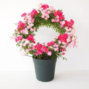 母の日ギフト 幸せを呼ぶリング仕立て ミニバラ 2色 送料無料 代引・同梱不可 メーカー直送|rose-m