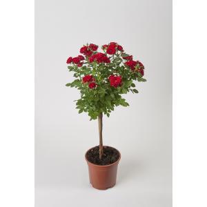 母の日ギフト 花芽付きスタンダードローズ アマンダ 開花時90〜100cm 6号鉢 送料別|rose-m