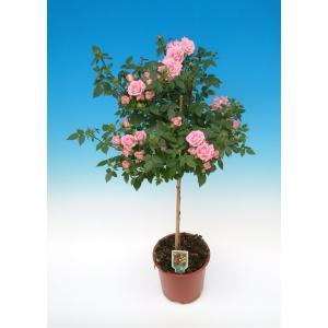 母の日ギフト 花芽付きスタンダードローズ レインドロップス 開花時90〜100cm 6号鉢 送料別|rose-m