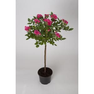 母の日ギフト 花芽付きスタンダードローズ ロイヤルローズ 開花時90〜100cm 6号鉢 送料別|rose-m