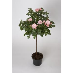 母の日ギフト 花芽付きスタンダードローズ ロイヤルピンク 開花時90〜100cm 6号鉢 送料別|rose-m