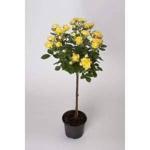 母の日ギフト 花芽付きスタンダードローズ ロイヤルイエロー 開花時90〜100cm 6号鉢 送料別|rose-m