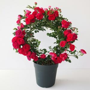 母の日ギフト 幸せを呼ぶリング仕立て ミニバラ キングローズ 送料無料 代引・同梱不可 メーカー直送|rose-m