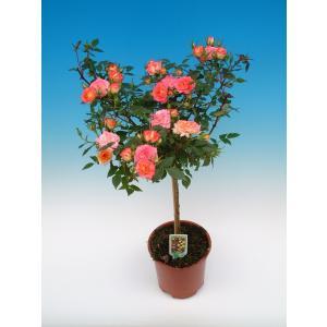 母の日ギフト 花芽付きスタンダードローズ ファイヤーワークス 開花時90〜100cm 6号鉢 送料別|rose-m