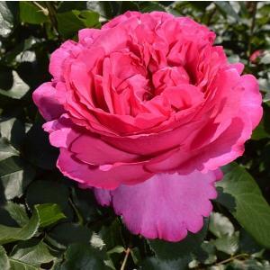 バラ苗 イブピアッチェ 国産大苗6号スリット鉢 ハイブリッドティー(HT) 四季咲き大輪 ピンク系