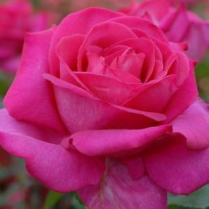 バラ苗 パローレ 国産大苗6号スリット鉢 ハイブリッドティー(HT) 四季咲き大輪 ピンク系
