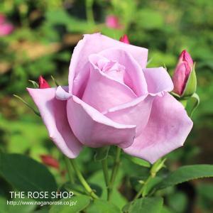 (アウトレット)苗B バラ苗 ブルームーン 6号スリット鉢 ハイブリッドティー (HT) 四季咲き大輪 紫系