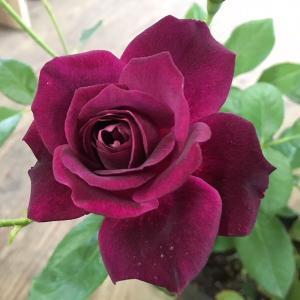 バラ苗 バーガンディアイスバーグ 国産大苗6号スリット鉢 フロリバンダ(FL) 四季咲き中輪 紫系
