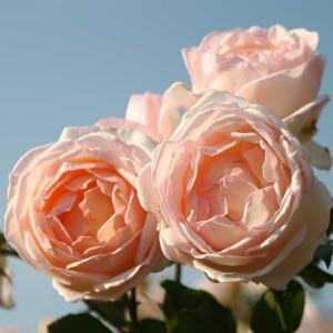 バラ苗 薫乃(かおるの)国産大苗6号スリット鉢 フロリバンダ(FL) 四季咲き中輪 ピンク系
