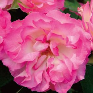 バラ苗 ストロベリーアイス 国産新苗4号ポリ鉢フロリバンダ(FL) 四季咲き中輪 ピンク系