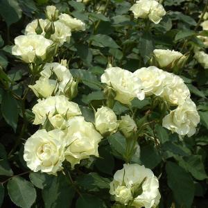 バラ苗 緑光(りょっこう) 国産大苗6号スリット鉢 フロリバンダ(FL) 四季咲き中輪 白系