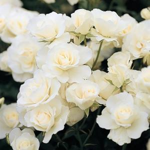 (アウトレット) 苗B バラ苗 アイスバーグ 6号スリット鉢 フロリバンダ(FL) 四季咲き中輪 白系
