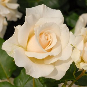 バラ苗 フレンチレース 国産新苗4号ポリ鉢フロリバンダ(FL) 四季咲き中輪 白系