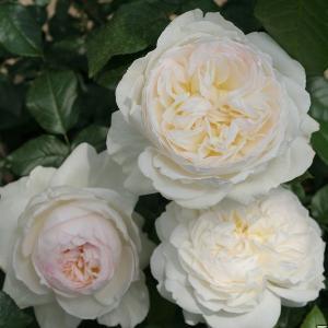バラ苗 ボレロ 国産大苗6号スリット鉢 フロリバンダ(FL) 四季咲き中輪 白系