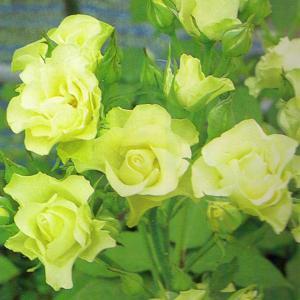 バラ苗 緑光(りょっこう) 国産新苗4号ポリ鉢フロリバンダ(...