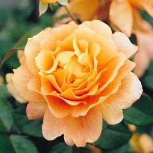 バラ苗 万葉(まんよう) 国産新苗4号ポリ鉢 フロリバンダ(FL) 四季咲き中輪 オレンジ系