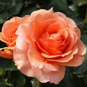 バラ苗 杏奈(あんな) 国産大苗6号スリット鉢 フロリバンダ(FL) 四季咲き中輪 アンティークタイプ オレンジ系