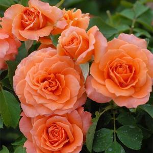 バラ苗 ビブレバカンス! 国産新苗4号ポリ鉢 フロリバンダ(FL) 四季咲き中輪 オレンジ系
