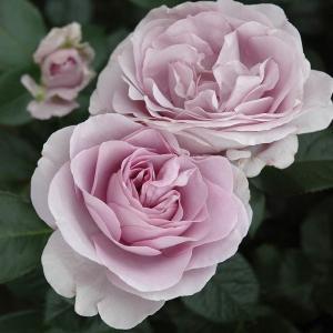 バラ苗 ブルーバユー 国産新苗4号ポリ鉢 フロリバンダ(FL) 四季咲き中輪 紫系