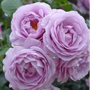 バラ苗 しのぶれど 国産新苗4号ポリ鉢フロリバンダ(FL) 四季咲き中輪 アンティークタイプ 紫系