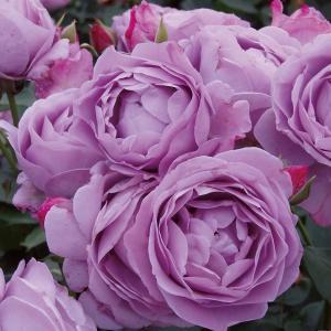 バラ苗 しのぶれど 国産大苗6号スリット鉢 フロリバンダ(FL) 四季咲き中輪 紫系