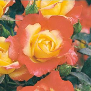 バラ苗 チャールストン 国産大苗6号スリット鉢 フロリバンダ(FL) 四季咲き中輪 複色系