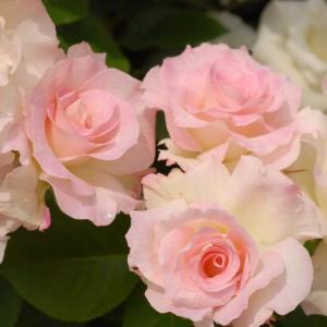 バラ苗 マチルダ 国産新苗4号ポリ鉢フロリバンダ(FL) 四季咲き中輪 複色系
