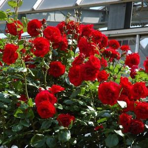 ウルメール ムンスター  四季咲きの赤つるバラ「ウルメール ムンスター」のバラの苗 良くある書き方:...