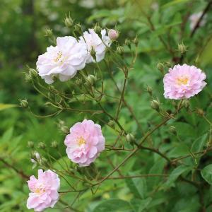 バラ苗 ポールズヒマラヤンムスク 国産大苗6号スリット鉢 つるバラ  一季咲き小輪 ピンク系