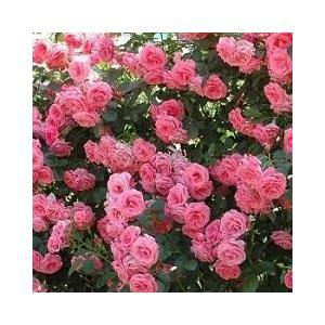 ラビィーニア  Lawinia  四季咲き つるバラ系(CL) Climbing Roses  作出...