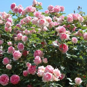 バラ苗 つるヒストリー 国産大苗6号スリット鉢 つるバラ(CL) 四季咲き ピンク系